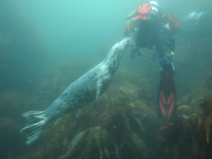 Seal and diver, Isle of Man